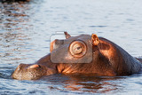 Photo portrait of hippo hippopotamus hippopotamus chobe national park botswana true wildlife photography