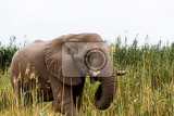 Fotografia portrait of grazing african elephant in in etosha national park ombika kunene namibia true wildlife photography