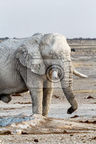 white african elephants on waterhole etosha national park ombika kunene namibia true wildlife photography