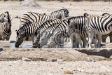 zebra drinking on waterhole etosha national park ombika kunene namibia true wildlife photography