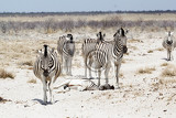 zebra in african bush etosha national park ombika kunene namibia true wildlife photography