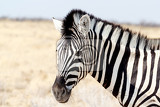 Photo zebra portrait burchells zebra equus quagga burchellii etosha national park ombika kunene namibia true wildlife photography