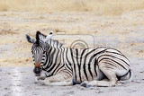 young zebra in african bush etosha national park ombika kunene namibia true wildlife photography