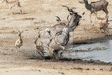 unsuccessful crocodile attack on antilops kudu and impala hwange national park matabeleland north zimbabwe