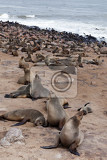 Fotografie huge colony of brown fur seal arctocephalus pusillus in cape cross namibia wide angle view true wildlife photography