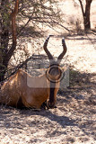 Fotografia a tsessebe damaliscus lunatus stood facing the camera in natural setting south africa kgalagadi