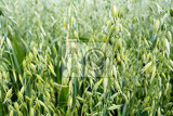 green oat grass growing in the field with shallow focus
