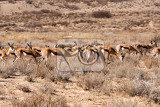 herd of springbok kgalagadi transfontier park south africa