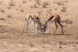 two springbooks grazing kgalagadi transfontier park south africa