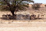 herd of springbok hiding under a big acacia from the midday heat kgalagadi transfontier park south africa