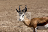 portrait of springbok antidorcas marsupialis kgalagadi transfontier park south africa true wildlife photography