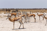 herd of springbok in etosha national park namibia