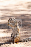 Fotografie south african ground squirrel xerus inauriswith tail eats foodkalahari south africa