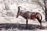 a tsessebe damaliscus lunatus stood facing the camera in natural setting south africa kgalagadi