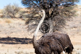Fotografia ostrich struthio camelus in kgalagadi south africa true wildlife photography