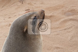 Fényképek portrait of brown fur seal arctocephalus pusillus in cape cross namibia wide angle view true wildlife photography