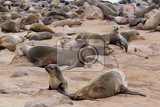 Fényképek huge colony of brown fur seal arctocephalus pusillus in cape cross namibia wide angle view true wildlife photography