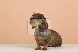 female portrait of brown dachshund european champion breeding station