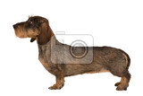 isolated female portrait of brown dachshund european champion breeding station