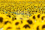 Fotografie field of sunflowers