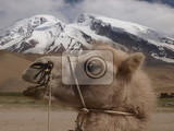 Photo Camel and mountains