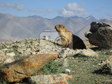 Marmot and Mountain