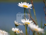 Fotografie The flowers of white daisies and blue sky