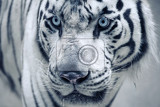 Fotografia white tiger