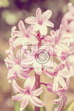 pink hyacinth flower in spring garden in vintage color tone