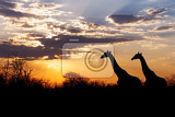 Fotografie sunset and giraffes in silhouette in africa dramatic sky botswana