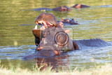 Photo two young male hippopotamus hippopotamus amphibius rehearse fray and figting with open mouth and showing tusk national park okawango botswana wildlife photography