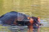 Photo portrait of hippo hippopotamus hippopotamus national park okawango wildlife photography