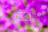 violet blurry background of flower in spring garden