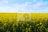Fotografie field of yellow rape with blue sky and space for text