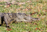 Photo portrait of a nile crocodile crocodylus niloticus chobe national park in botswana