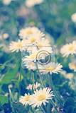 Fotografie small daisy flower on green lawn with shallow focus retro color tone