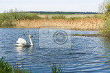 alone swan cygnus single bird on water czech republic