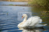 Photo alone swan cygnus single bird on water czech republic