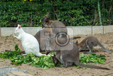 grazzing family of cute red necked wallaby kangaroo with baby in bag and with white albino female