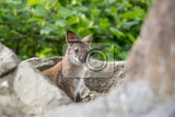 closeup of a rednecked wallaby baby  kangaroo macropus rufogriseus