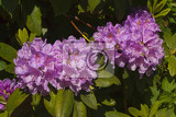 three purple rhododendron flowers and leaves background