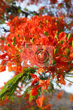 Fotografie close up detail of delonix regia flamboyant tree