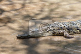 Photo portrait of a nile crocodile crocodylus niloticus victoria falls