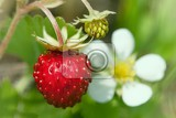 wild strawberries plant with green leaves