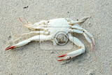 Photo dead white crab on sandy beach bali indonesia nusa penida