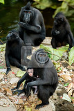 Fotografie portrait of  ape monkey celebes with small baby sulawesi crested black macaque takngkoko national park sulawesi indonesia