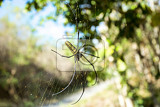 Photo close up of golden orb weaver or giant wood spider or banana spider nephila pilipes on its web in nature ventral view