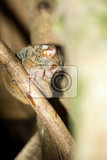 Fotografie very rare spectral tarsier tarsius spectrumtangkoko national park sulawesi indonesia the worlds smallest primate true wildlife