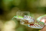 oriental whipsnake or asian vine snake ahaetulla prasina tangkoko national park sulawesi indonesia wildlife