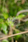 Photo close up giant spider on the web nephila pilipes bali nusa penida indonesia wildlife